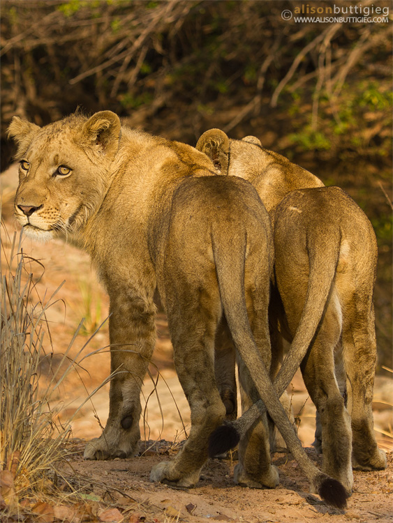 Lions with Crossed Tails, Kafue National Park
