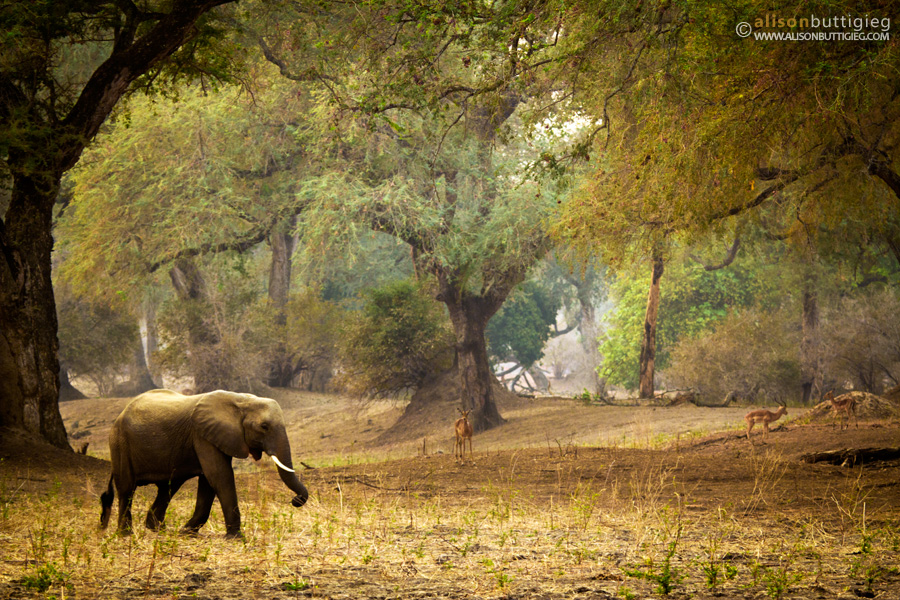 Elephant walks in Forest, Mana Pools, Zimbabwe