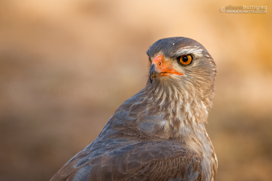 Southern Pale Chanting Goshawk, Kgalagadi Transfrontier Park, South Africa