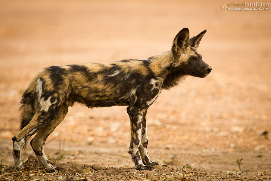 Alert Wild Dog, Mana Pools