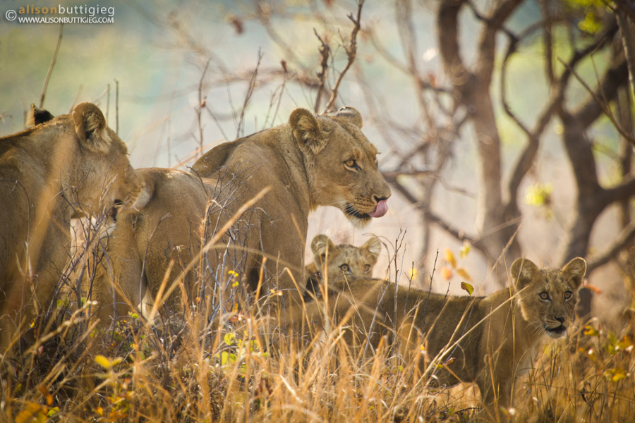 Lion Family Portrait, Kafue National Park