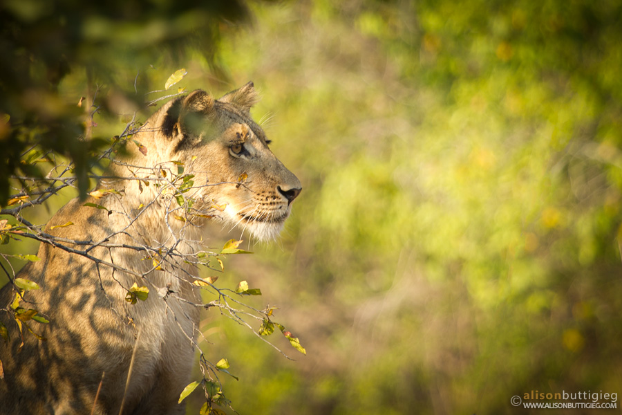 Lion, Kafue National Park