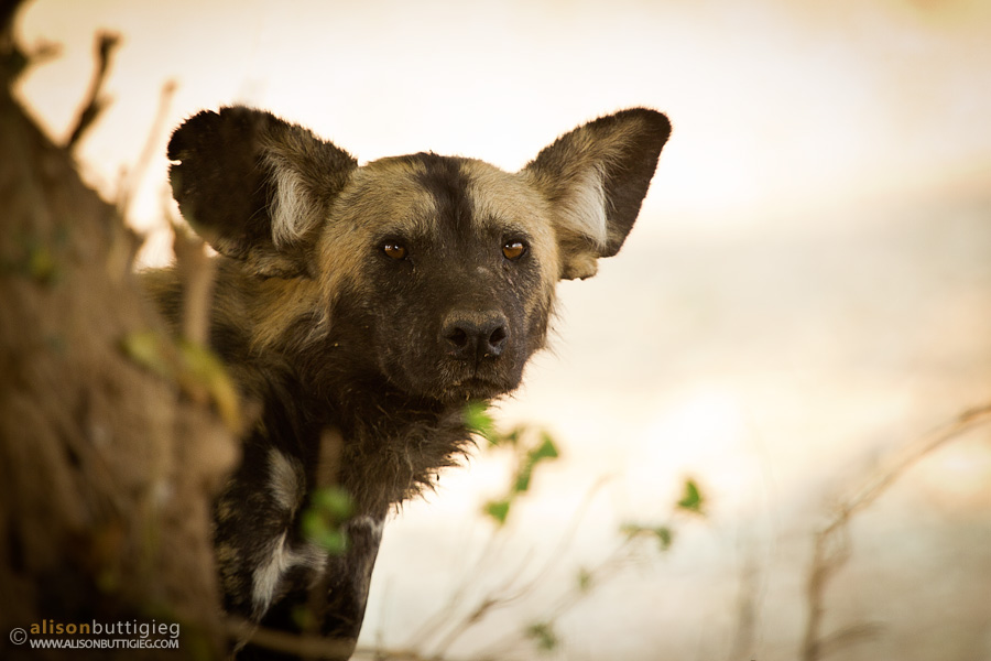 Wild Dogs, Mana Pools