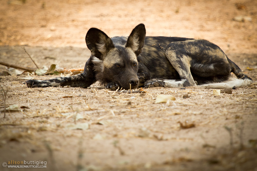 Dog Nap - Mana Pools