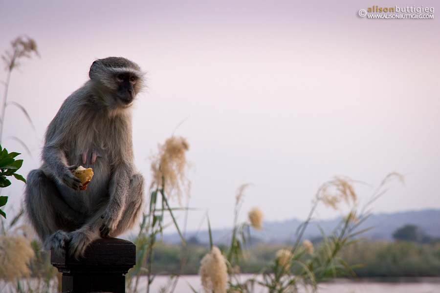 Cheecky Vervet Monkey at the Royal Livingstone Hotel