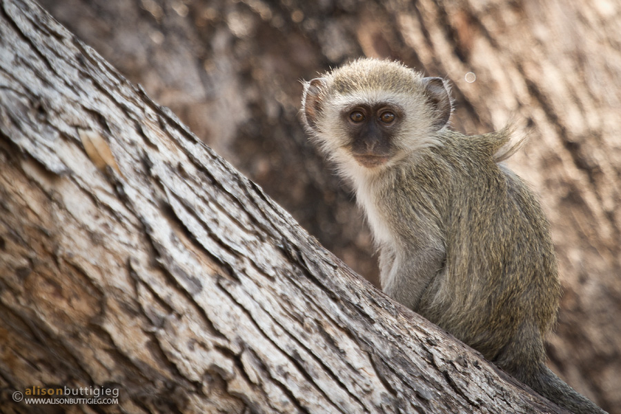 Baby Vervet Monkey, Kafue National Park
