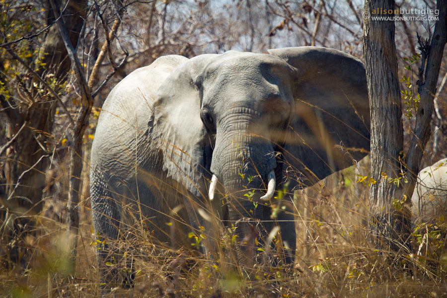 Angry Elephant before charging, Kafue National Park