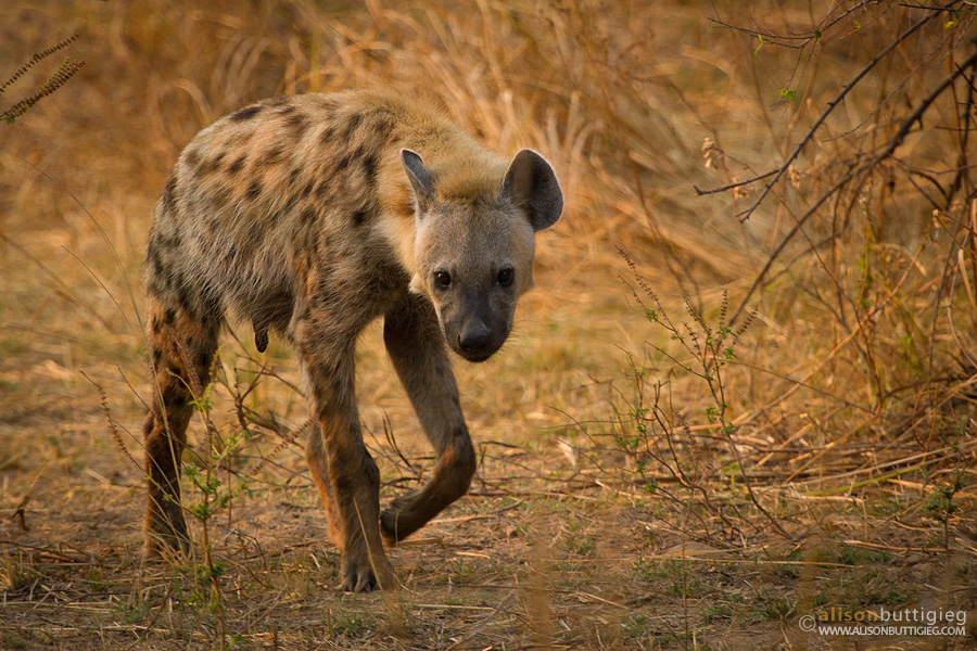 Hyena with a purpose - South Luangwa