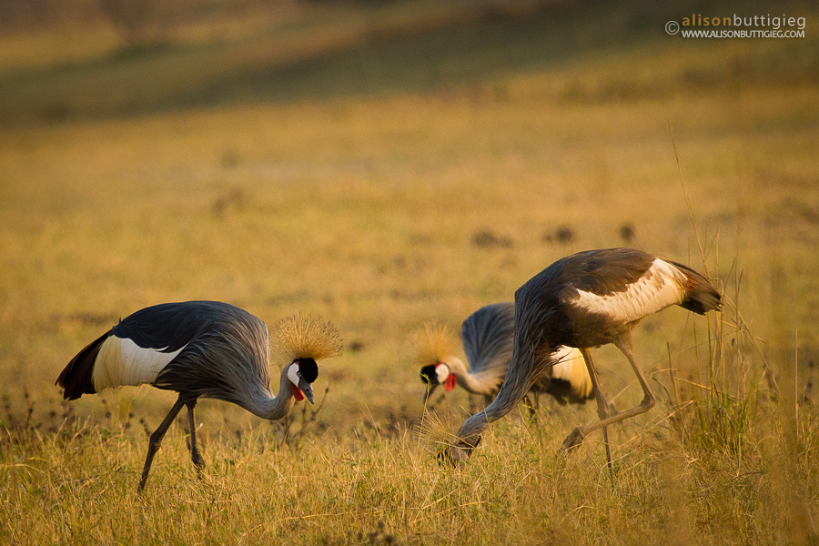 Crowned Cranes - South Luangwa
