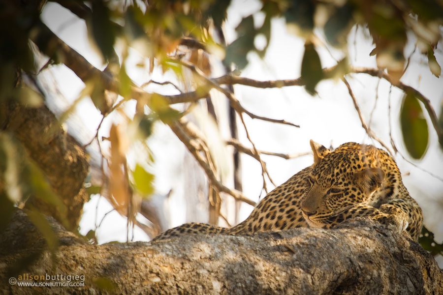 Spotted Dreams - South Luangwa