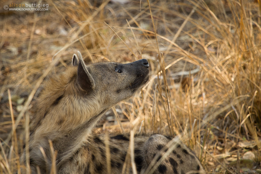 Hyena wistfully hoping for some impala - South Luangwa