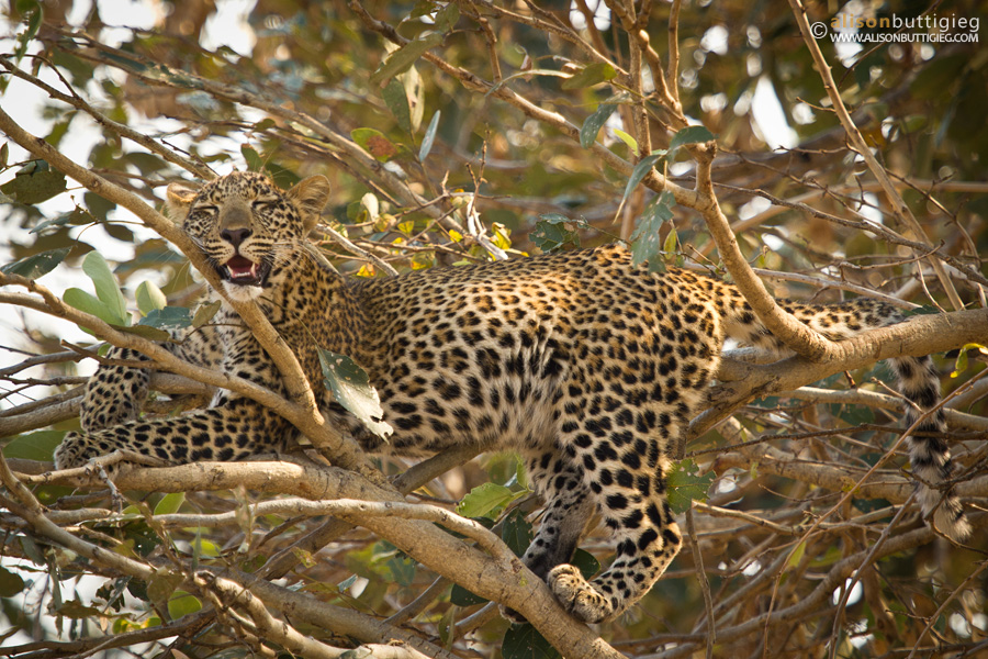 Seriously, can it really be a comfortable arrangement? South Luangwa