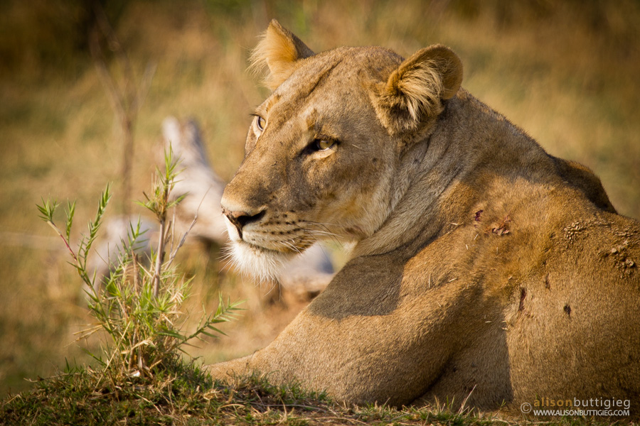 Lioness - South Luangwa