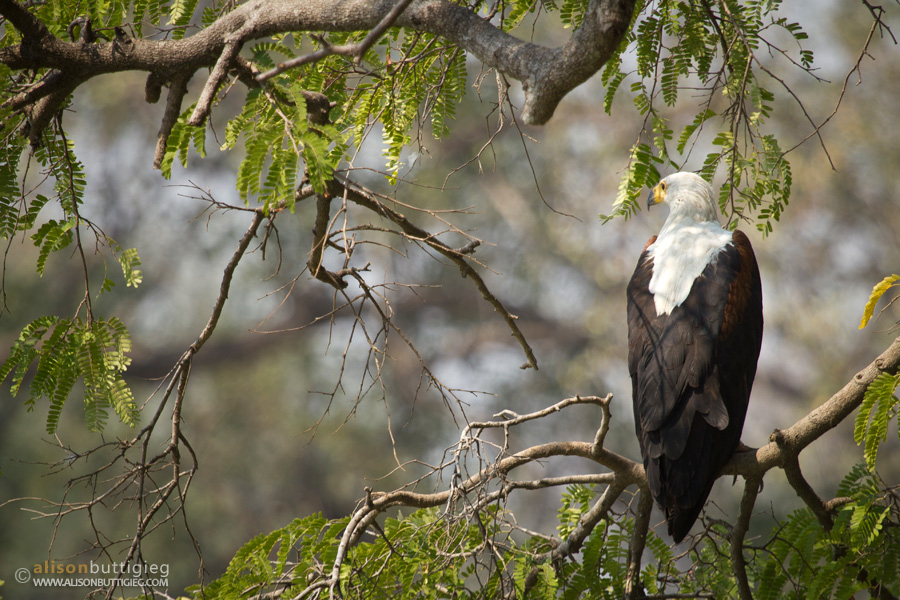 The Fish Eagle - National Bird of Zambia