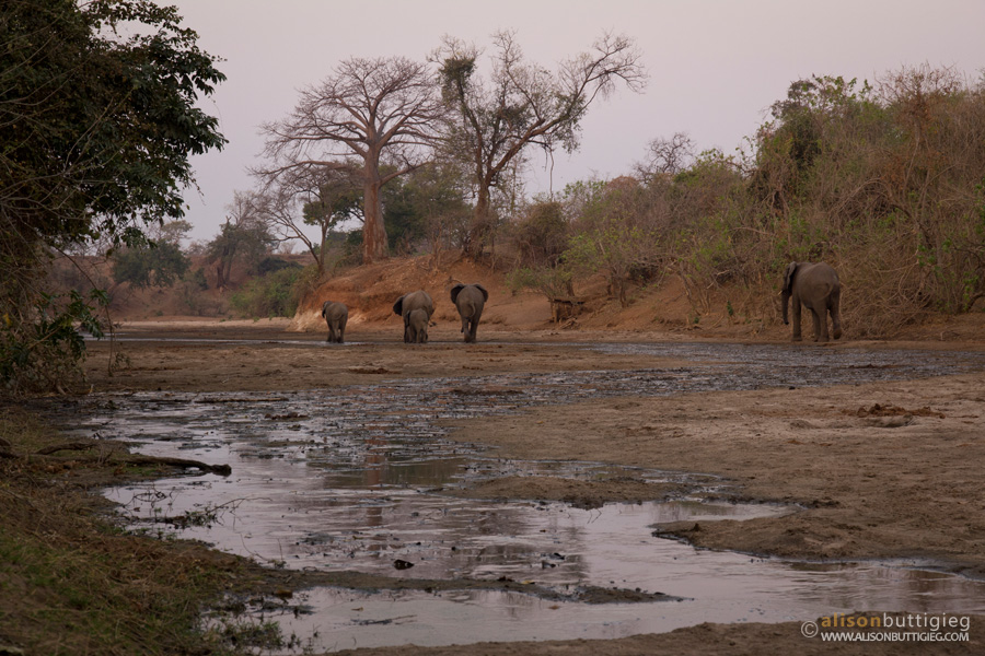 Elephants on the Chitake Riverbed