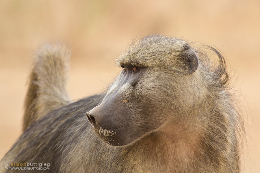 Profile of a baboon.  Chitake 1, Mana Pools