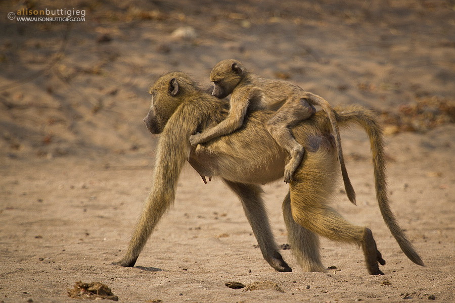 Baboons, Chitake, Mana Pools