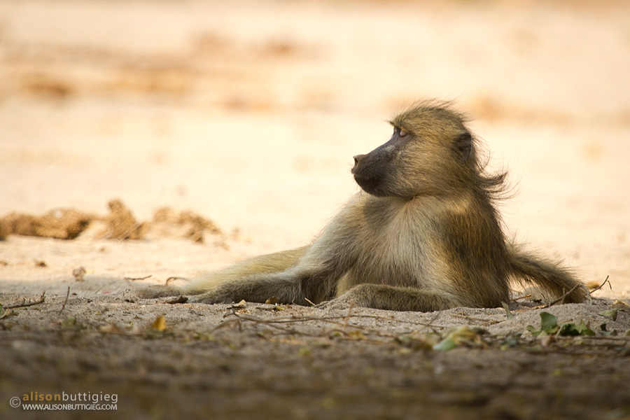 A Moment of Contemplation, Chitake, Mana Pools