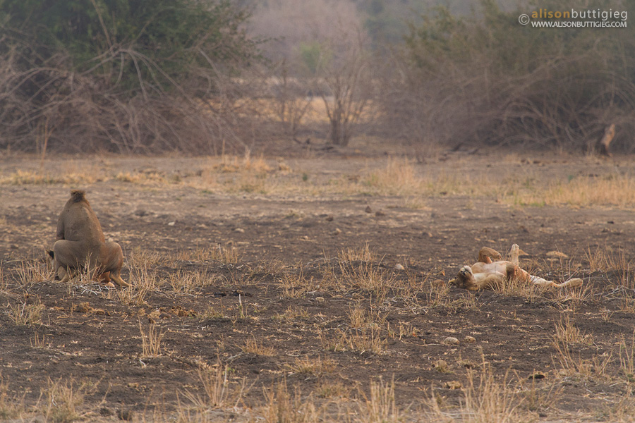 The honeymoon couple and the third wheel, Mana Pools