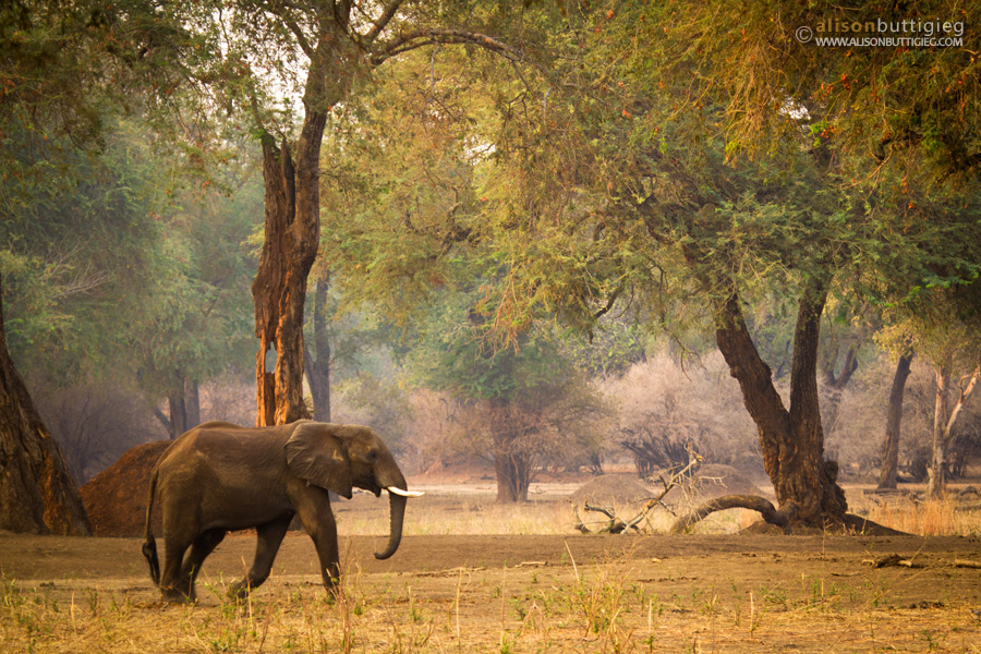 Elephant in the Forest, Mana Pools