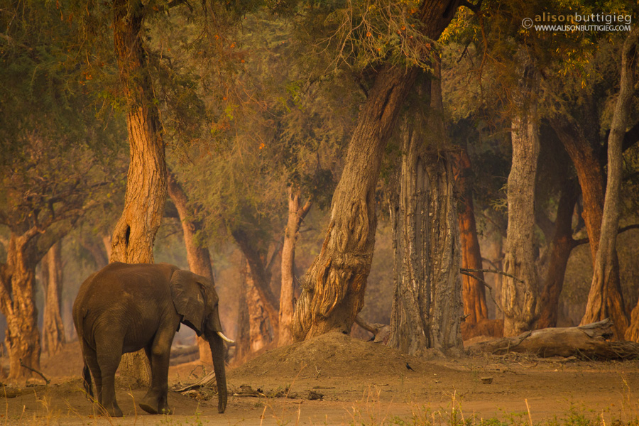Fairy Tale Forests in Mana Pools