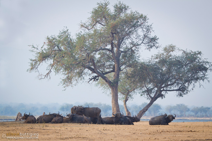 Buffalos, Mana Pools