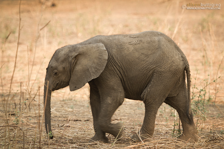 Ellie calf, Mana Pools