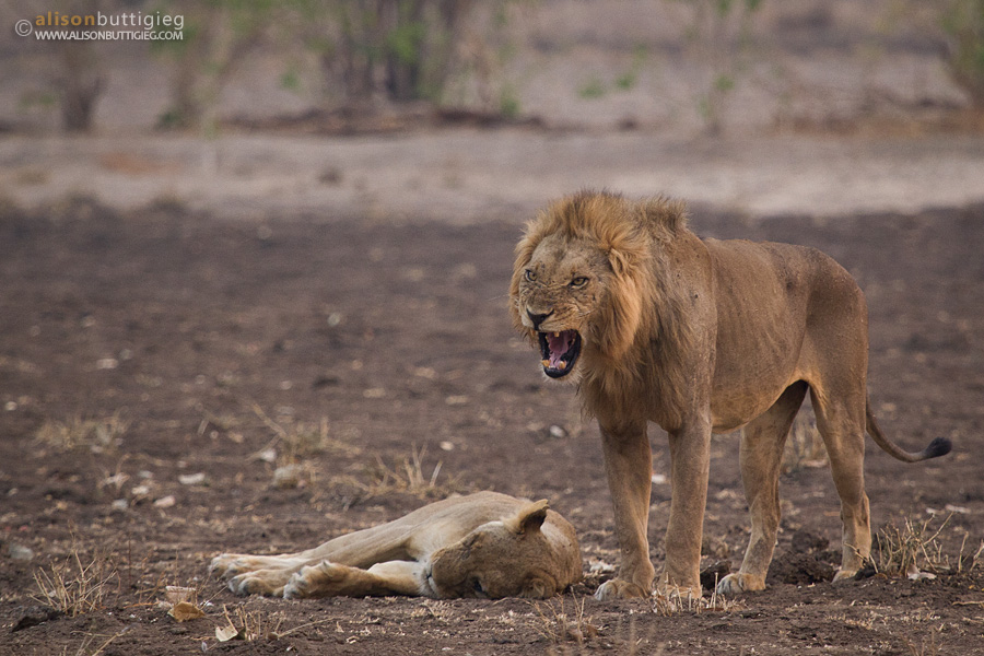 He never looks pleased, does he?  Mana Pools