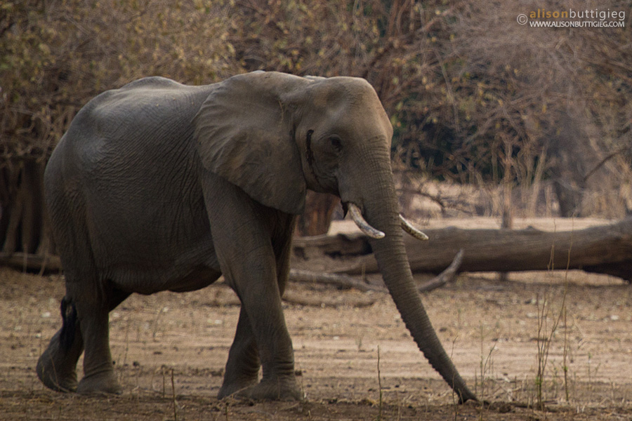 Elephant while on foot, Mana Pools