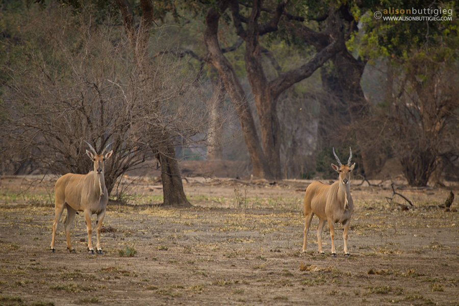 Elands while on foot, Mana Pools