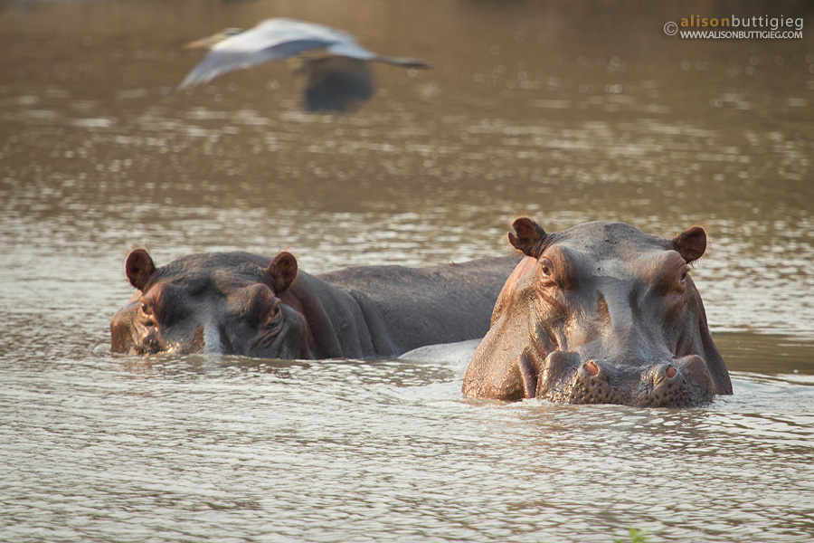 Hippos at Long Pool whilst on foot, Mana Pools