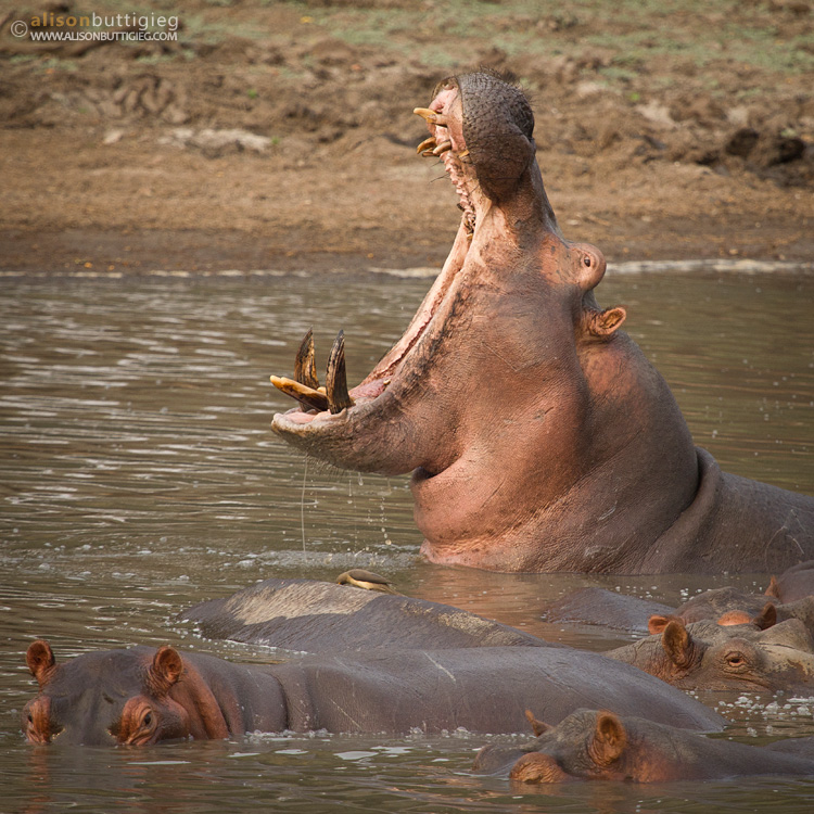 Hippo whilst on foot, Mana Pools