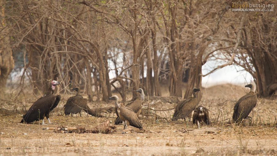 Vultures - delighted at an impala's misfortune