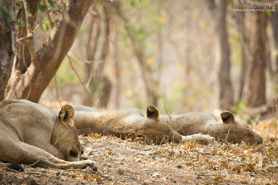 Time for a snooze, Nkupe Campsite, Mana Pools