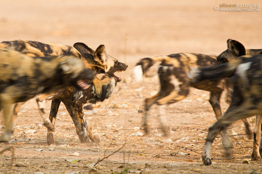 Wild dog play time - Mana Pools