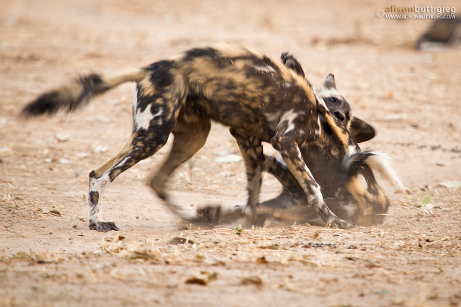 Wild Dog Wrestling - Mana Pools