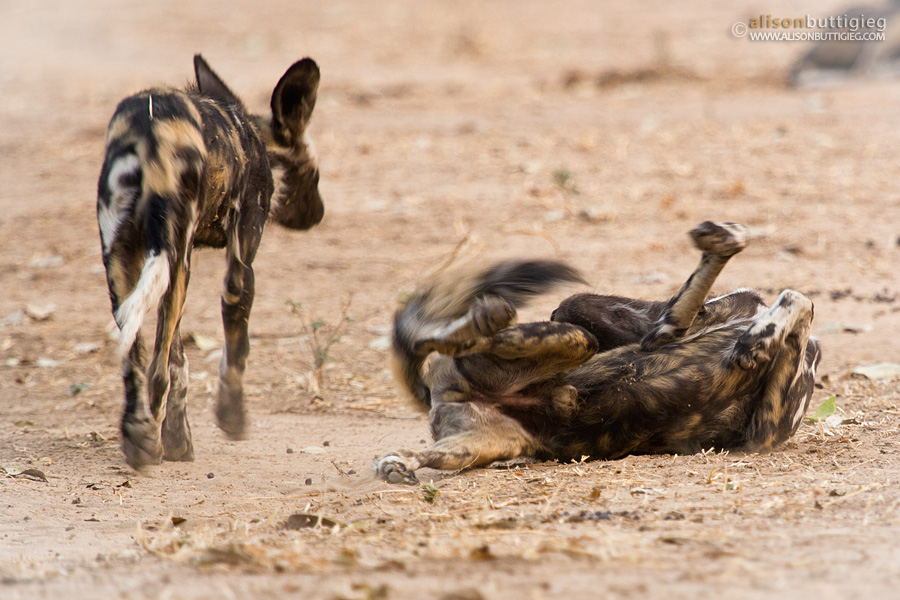 Wild Dogs Playing, Mana Pools