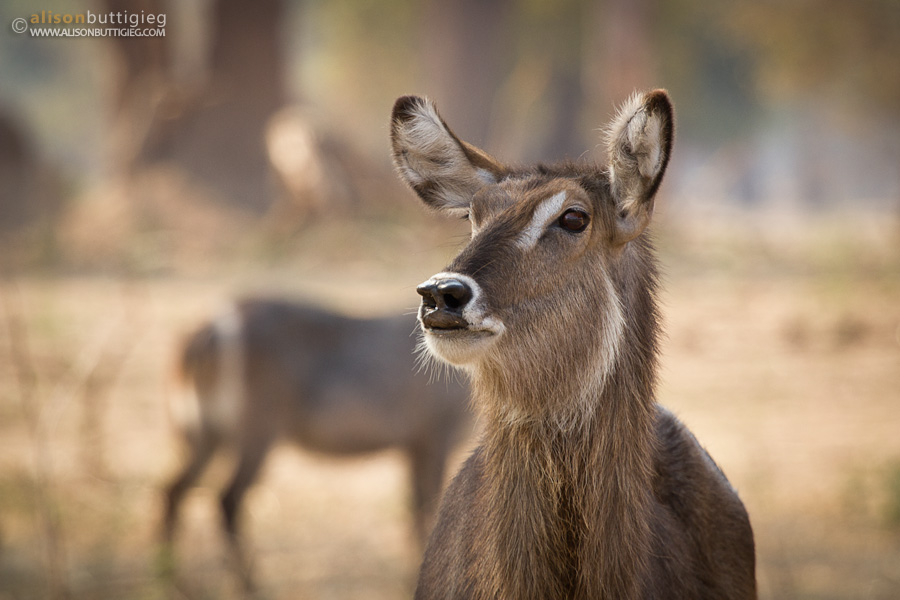 Waterbuck, Mana Pools