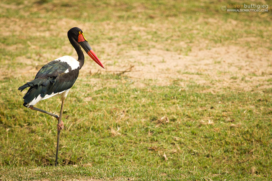 Saddle Billed Stork, Mana Pools