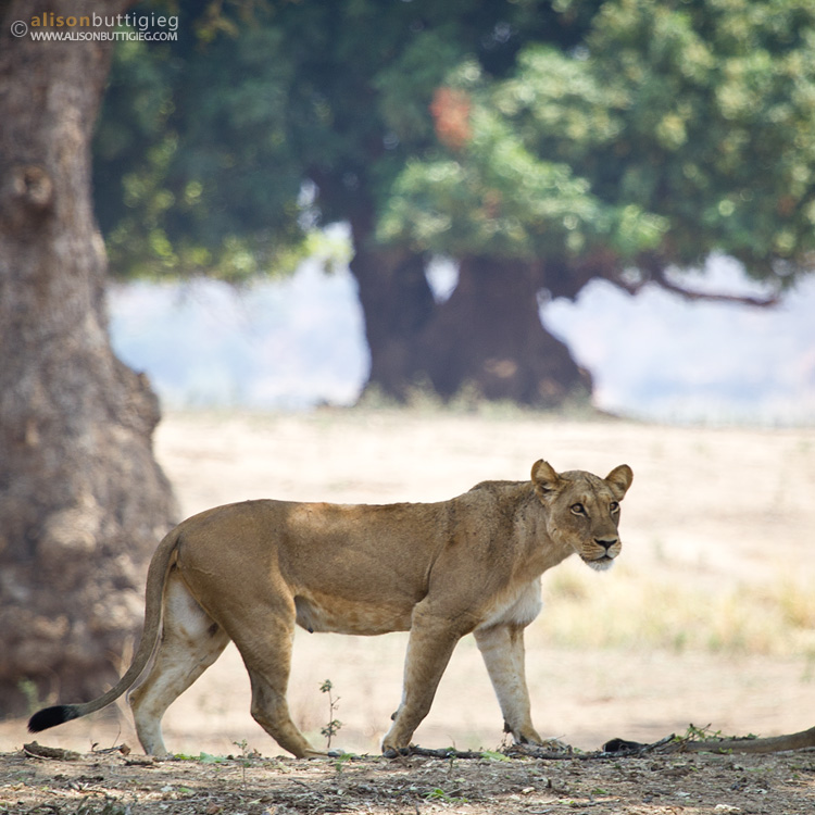 Catwalk, Mana Pools