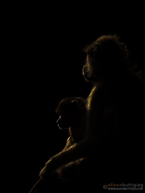 Backlit Baboons, South Luangwa National Park