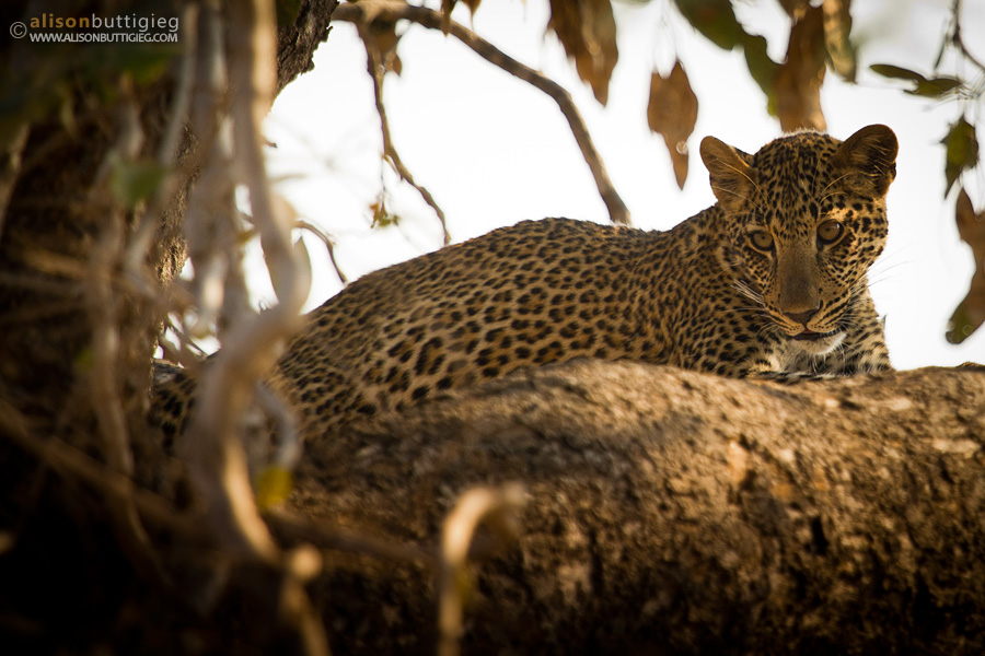 Leopard up a tree - South Luangwa
