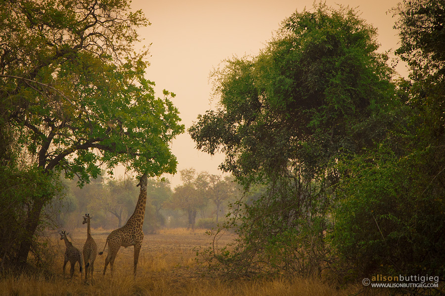 Giraffes having a sunset snack - South Luangwa