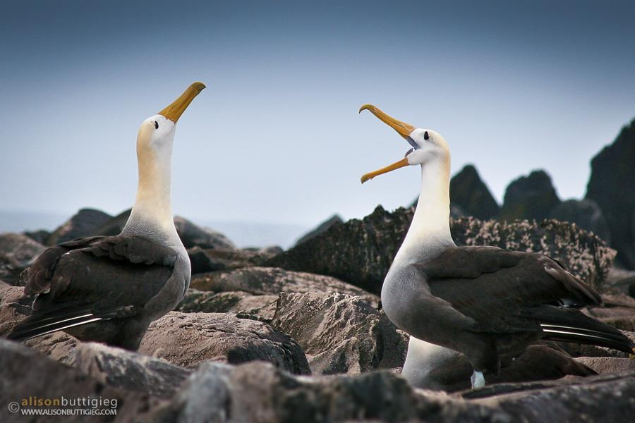 Waved Albatross photo featured in NG Top 25 Wild Bird Photos of the Week