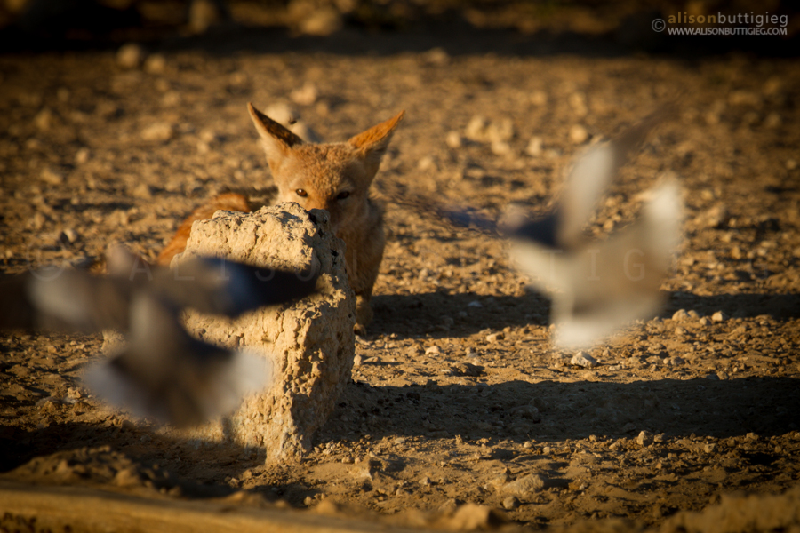 Stalking Jackal, Kgalagadi Transfrontier Park, South Africa