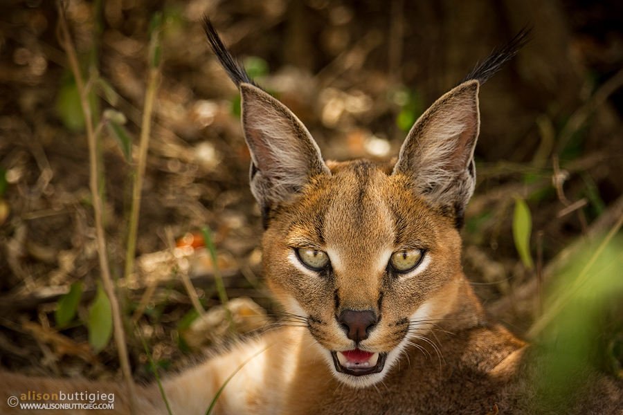 Servals Amp Caracals Alison Buttigieg Travel And Photography