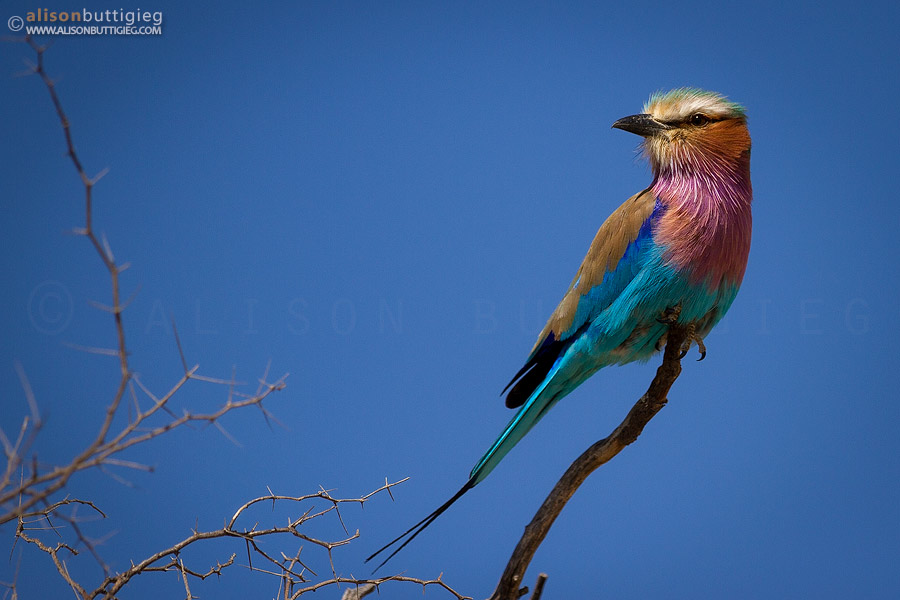 The beautiful Lilac Breasted Roller