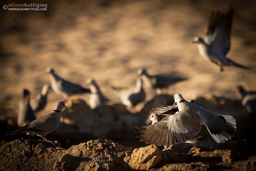 Doves at the waterhole