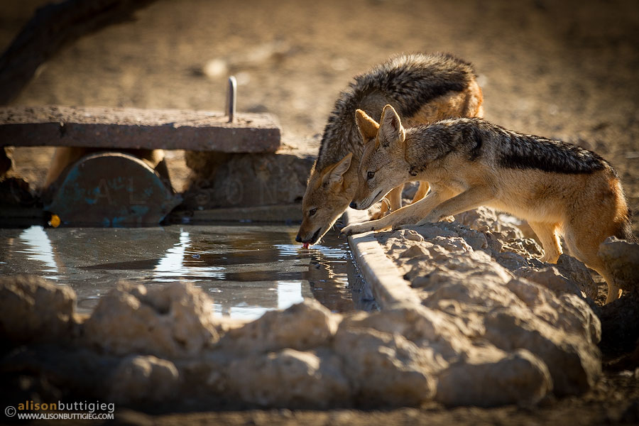 Jackals having a drink