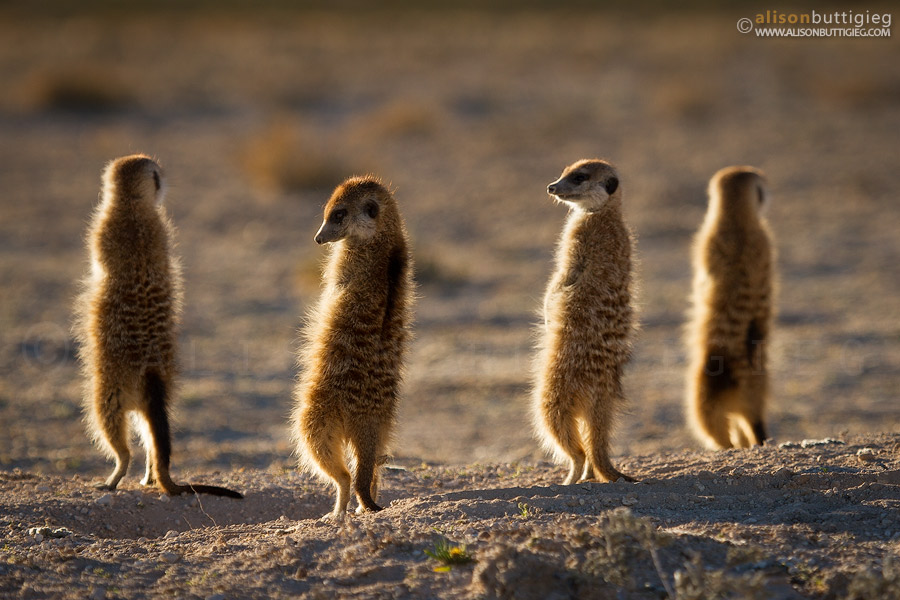 Meerkats Sunning themselves on this cold morning - Kalahari Meerkat Project